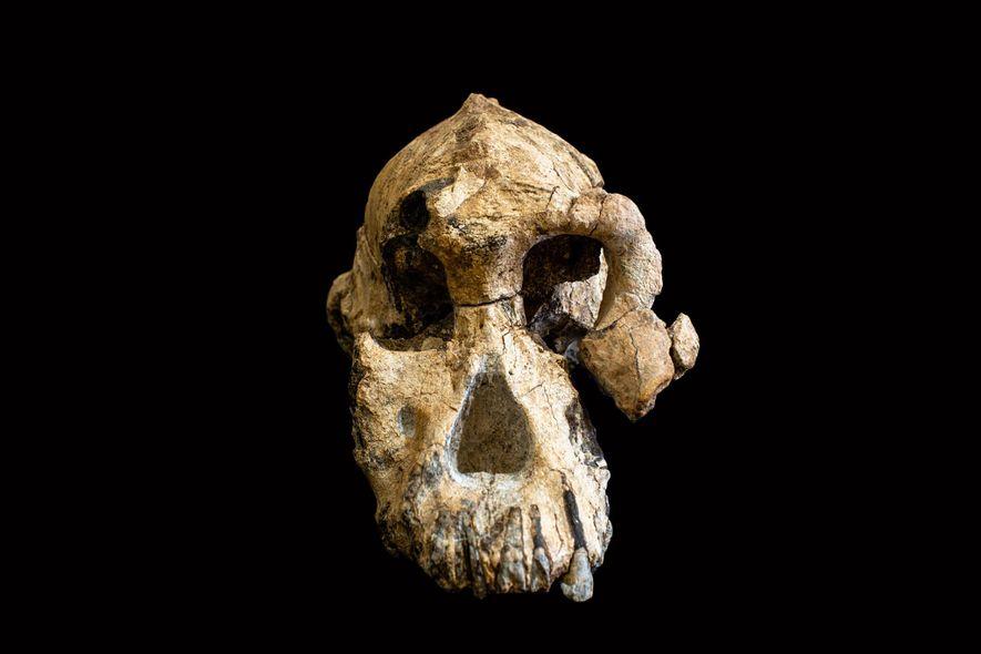 """Com a designação formal de MRD-VP-1/1, este crânio recém-descoberto pertence a um antepassado humano primitivo chamado """"Australopithecus anamensis""""."""