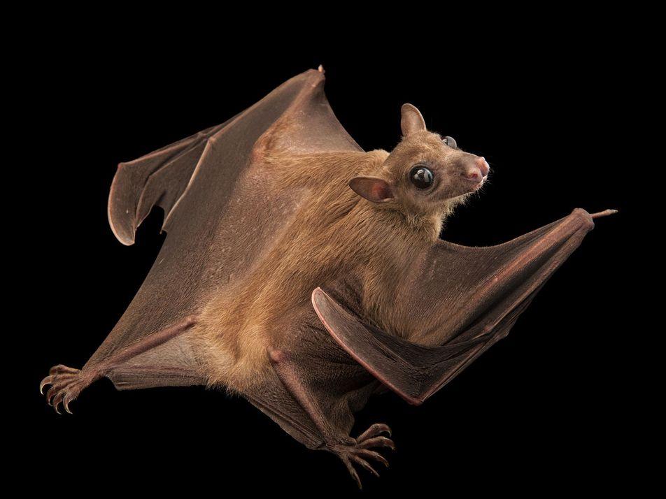 Morcegos Estão a Ser Mortos Para que as Pessoas Possam Sugar o Seu Sangue