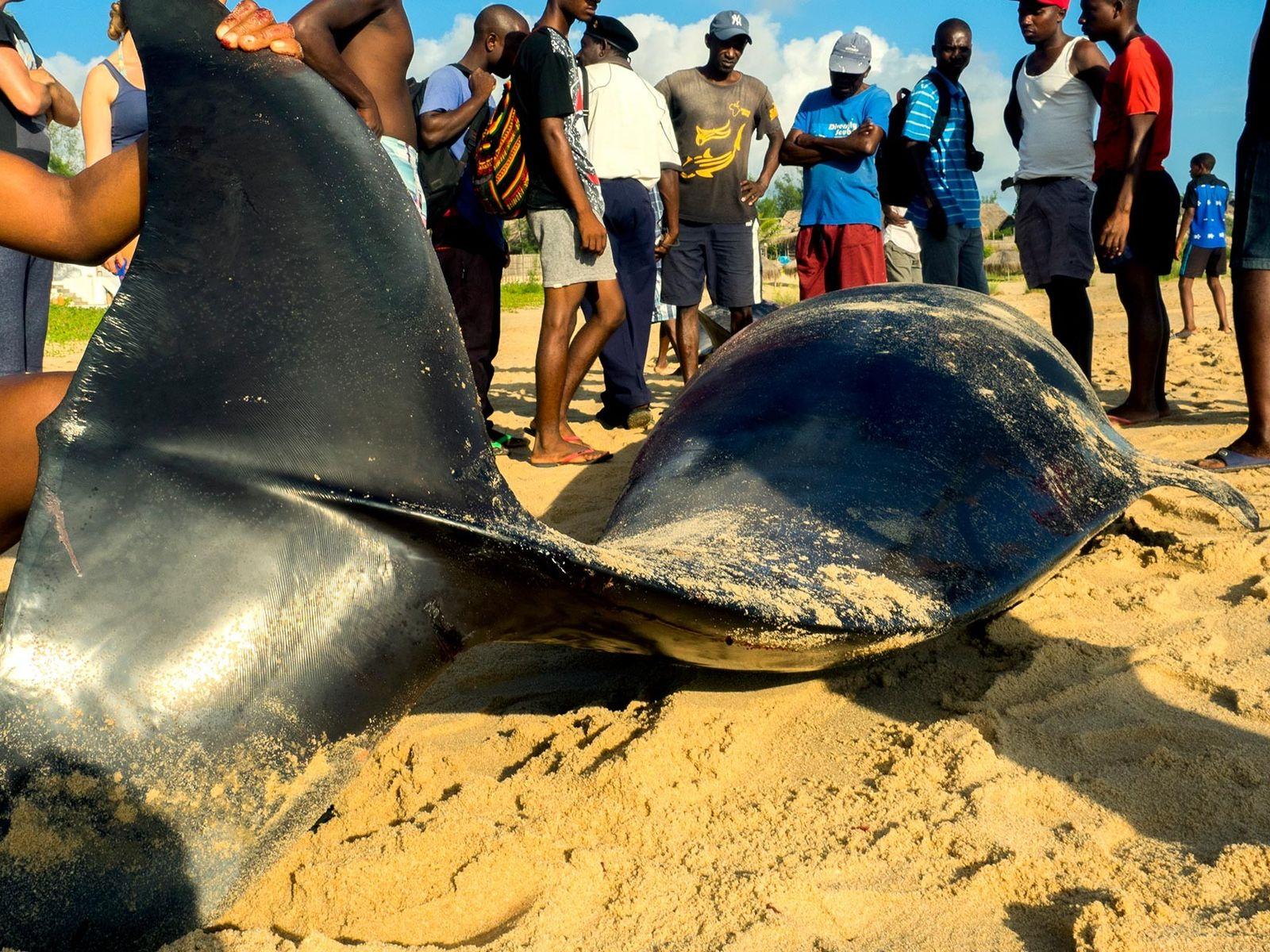Pessoas a recolher carne de baleias encalhadas, na Praia do Tofo, em Moçambique.