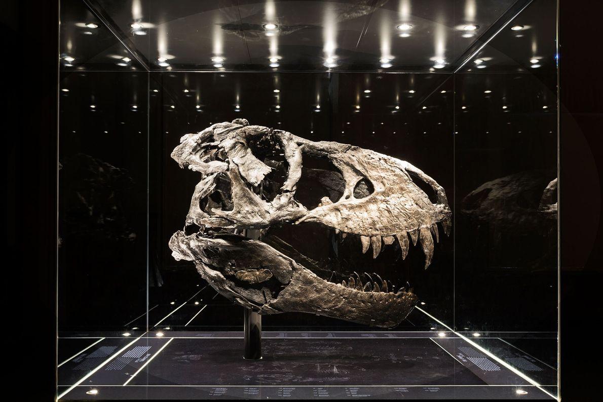 crânio pertence ao espécime mais completo do Tiranossauro rex