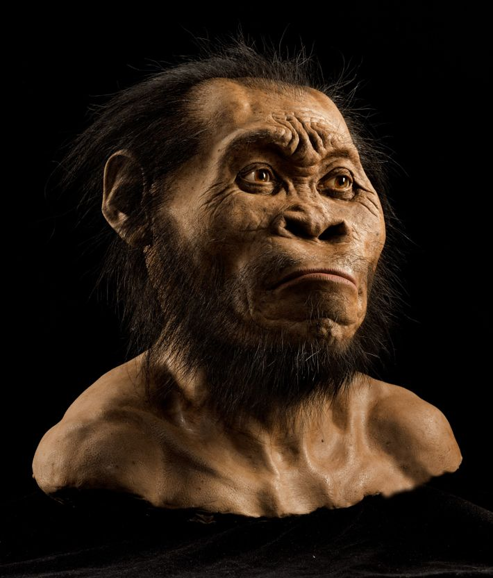 Apesar de conter alguns aspetos primitivos, o rosto, o crânio e os dentes (desta reconstrução) exibem ...
