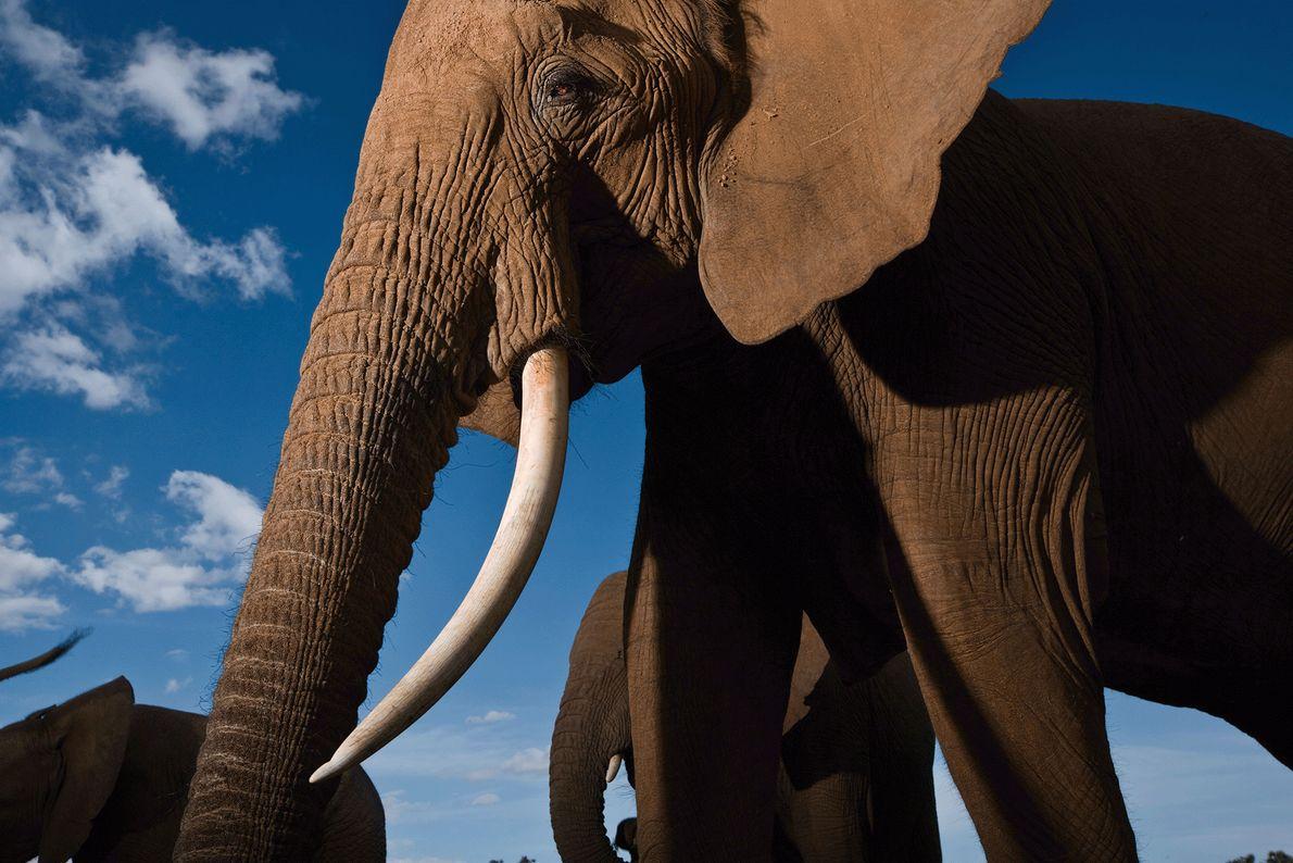 Os elefantes são animais sociais e agrupam-se em famílias muito unidas. Na imagem, elementos da mesma ...