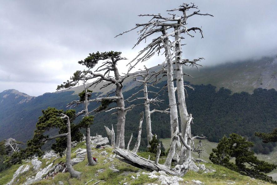 Um conjunto de pinheiros de Heldreich, envelhecidos ou mortos, povoa o cume do Parque Nacional de ...
