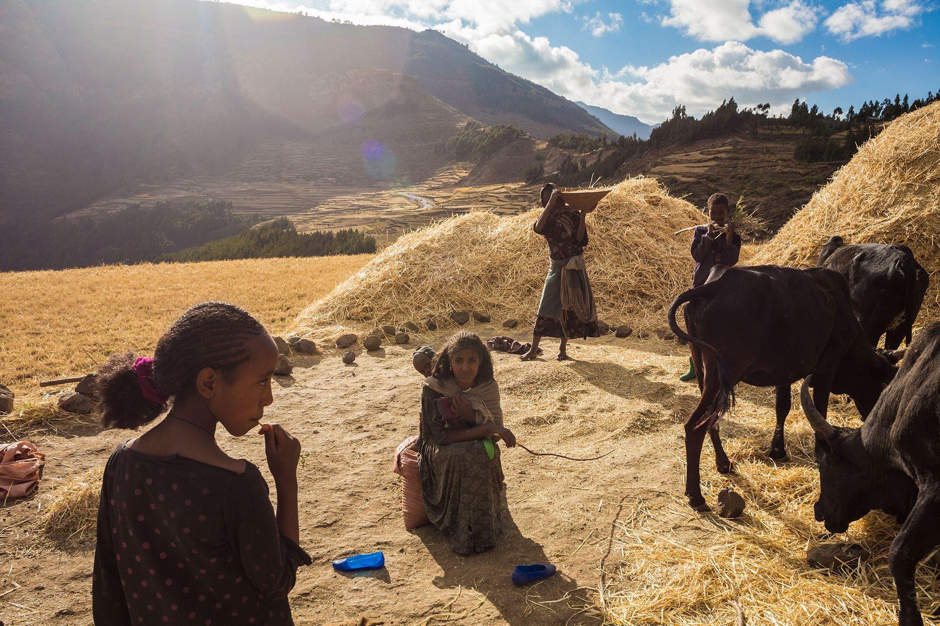 Uma família faz a colheita de trigo nas planícies propensas à fome da Etiópia