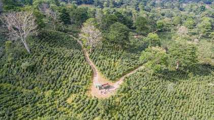 'Uma floresta sob o efeito de cafeína'? Como o café pode ajudar as florestas a crescer ...