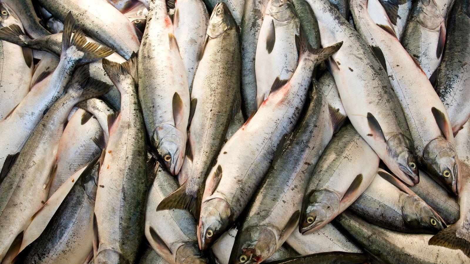 Uma apanha de salmão-rosa.