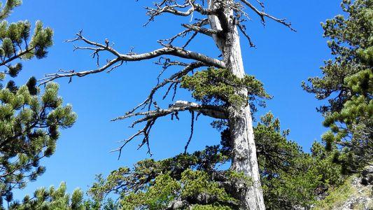 Foi Encontrada a Árvore Mais Antiga da Europa... e Continua a Crescer
