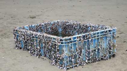 Espécies Invasoras Atravessam os Oceanos à Boleia do Plástico