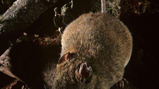 Esta espécie de melomys é parente da espécie que os cientistas afirmam estar extinta na Grande ...