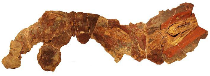 Este fóssil do antigo tubarão do género Phoebodus foi encontrado em Marrocos.
