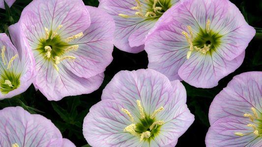 As Flores Conseguem Ouvir o Zumbido das Abelhas