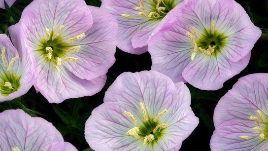 flores prímula