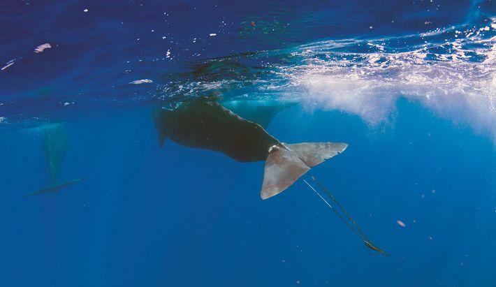 Digit esteve prestes a morrer. Muitos outros mamíferos marinhos não sobrevivem aos seus encontros com lixo ...