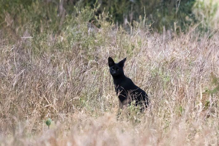 Um raro gato-serval no Quénia
