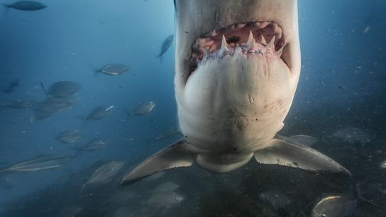Um tubarão-branco nas águas ao largo das ilhas Neptuno do Sul, na Austrália