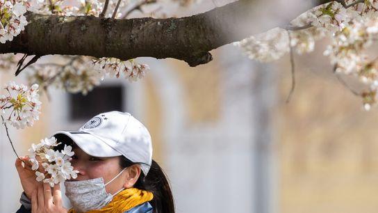 Uma mulher, com uma máscara de proteção individual, a cheirar flores de cerejeira nas margens do ...