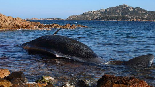 Uma baleia grávida deu à costa, já morta, numa praia da Sardenha, em Itália. O seu ...