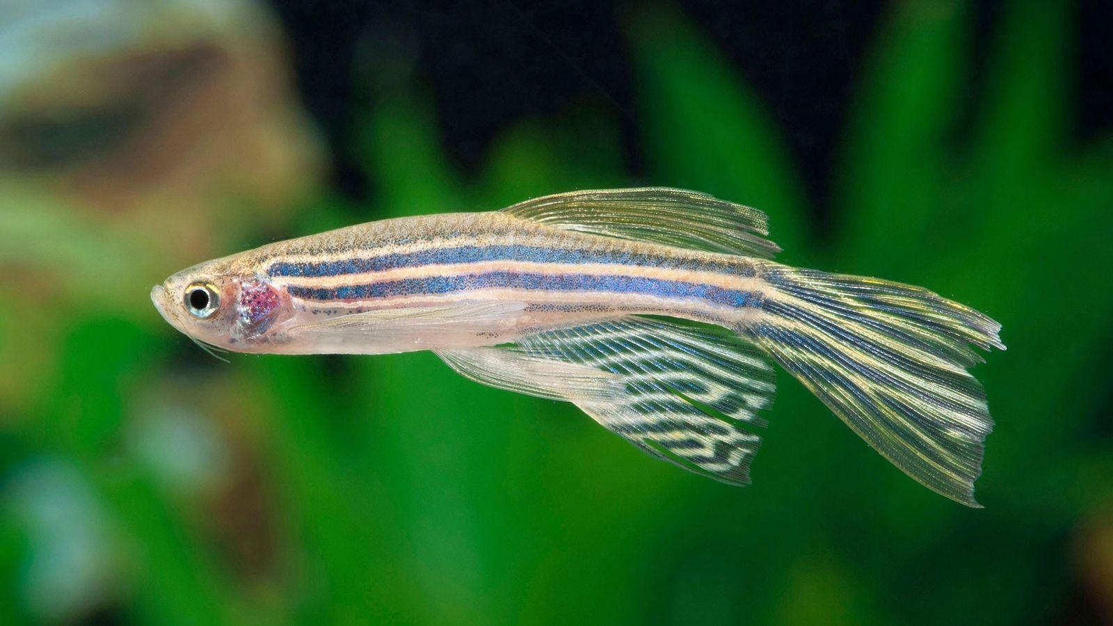 De acordo com um novo estudo que analisou a atividade neural de minúsculos animais aquáticos, os ...