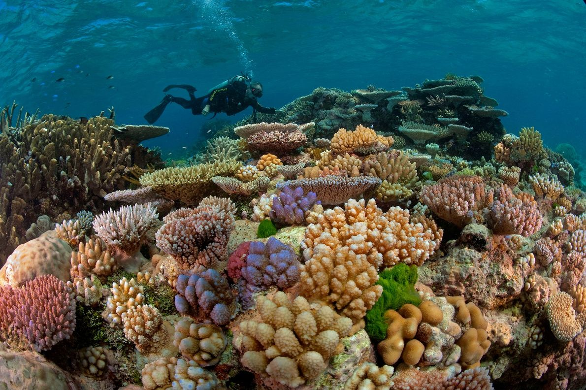 Um mergulhador nada sobre um jardim de corais na Grande Barreira de Coral, que se estende …