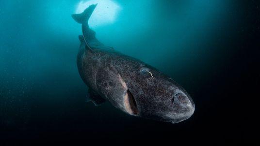 Tubarão com 272 anos de Idade é o Vertebrado com Maior Longevidade a Habitar a Terra