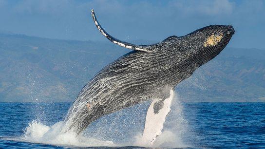 A humpback whale breaches far in the air above the Pacific Ocean.