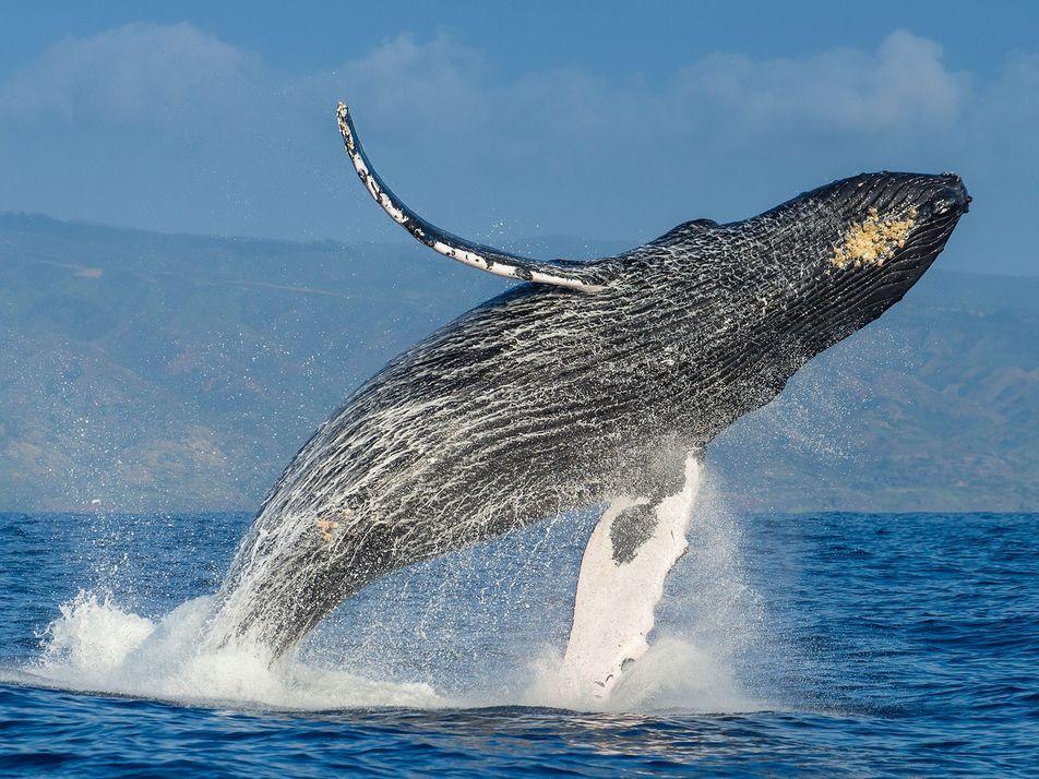 O Aumento de Baleias Sem Barbatana Caudal Preocupa os Cientistas
