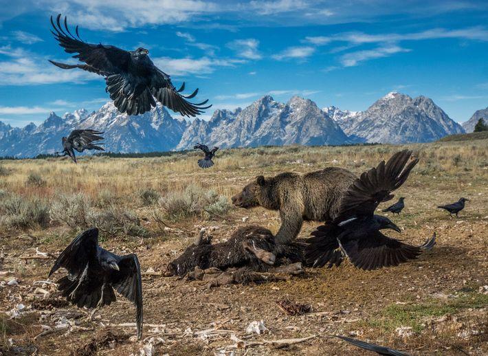 Um urso-pardo adulto afugenta alguns corvos que se apoderaram da carcaça de um bisonte
