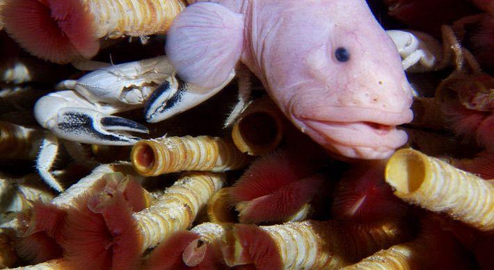 Os poliquetas da espécie Riftia pachyptila, de cor vermelha, um peixe-enguia-de-beiço da família Zoarcidae e um ...