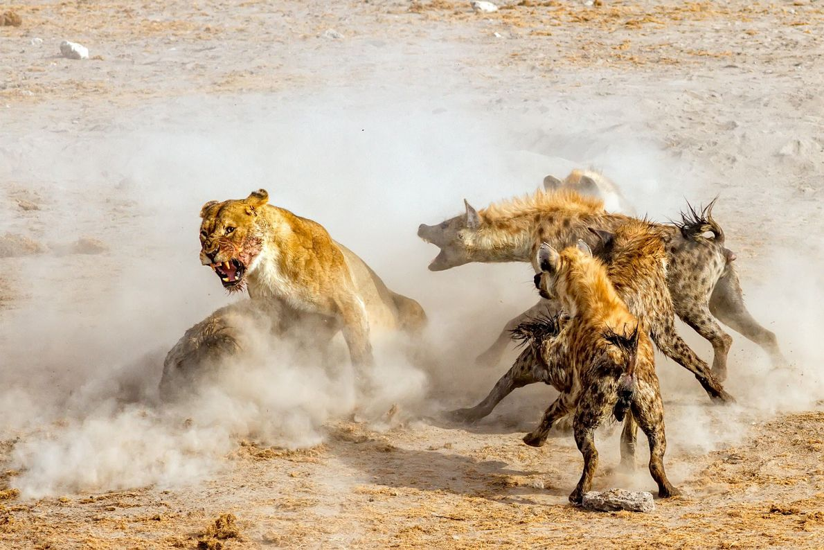 Luta entre quatro leoas e 16 hienas