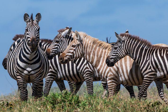 Zebra Albina com restantes zebras
