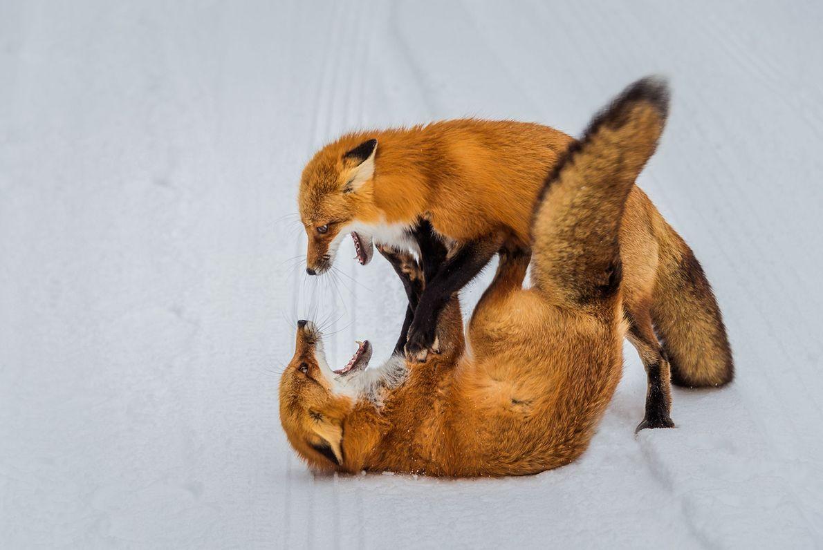 Raposas lutam na neve em Ontário.