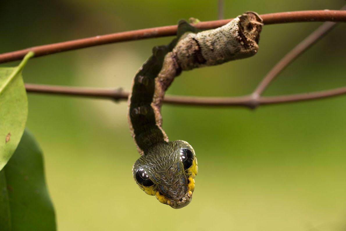 """A lagarta da traça de borboleta """"Sphingidae"""", aqui fotografada no Peru, imita uma cobra venenosa para ..."""