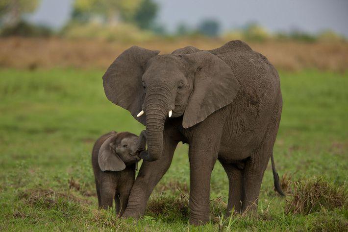 Um elefante acaricia a cria.