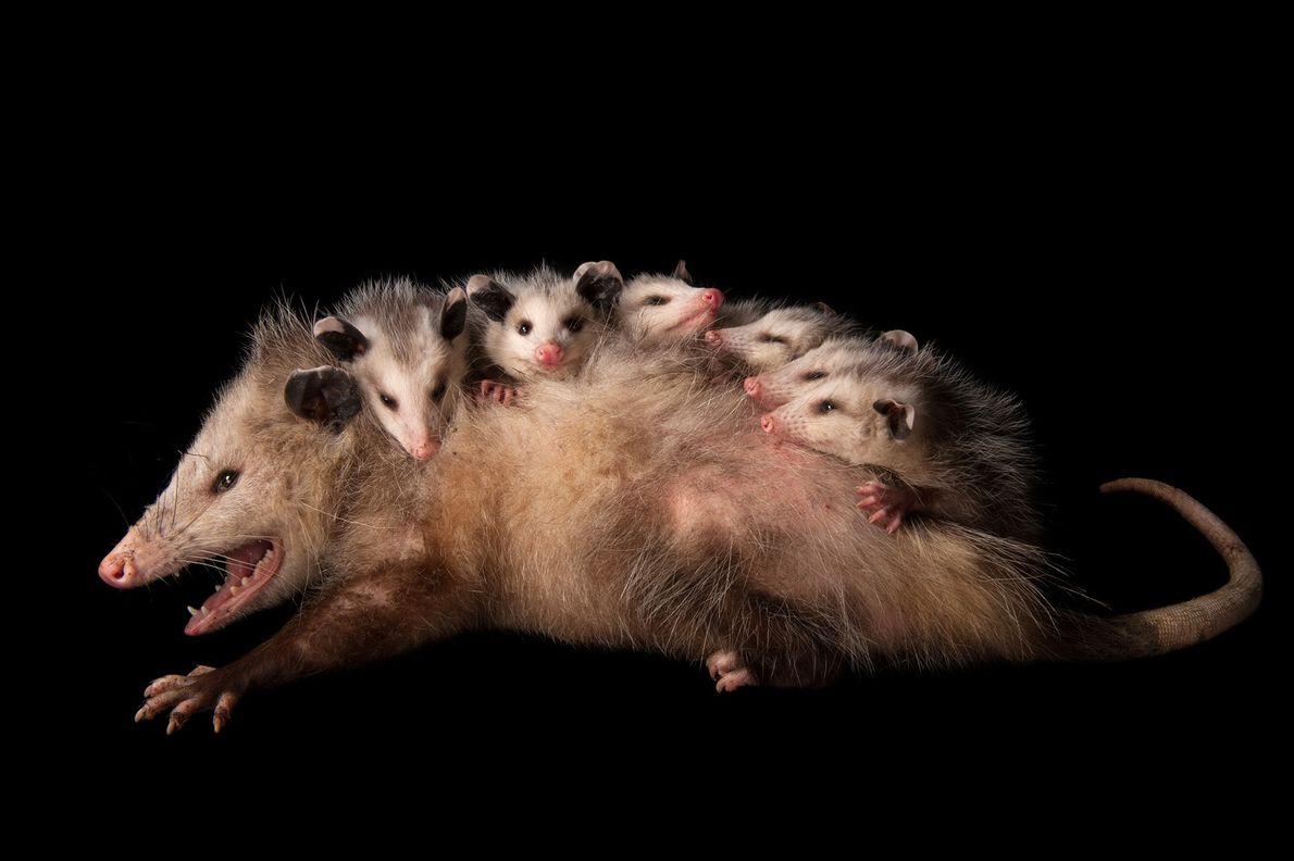 FOTO DE GRUPO Uma mãe opossum-da-virgínia (Didelphis virginiana) aninha-se com os seus filhotes. Tal como os coalas …