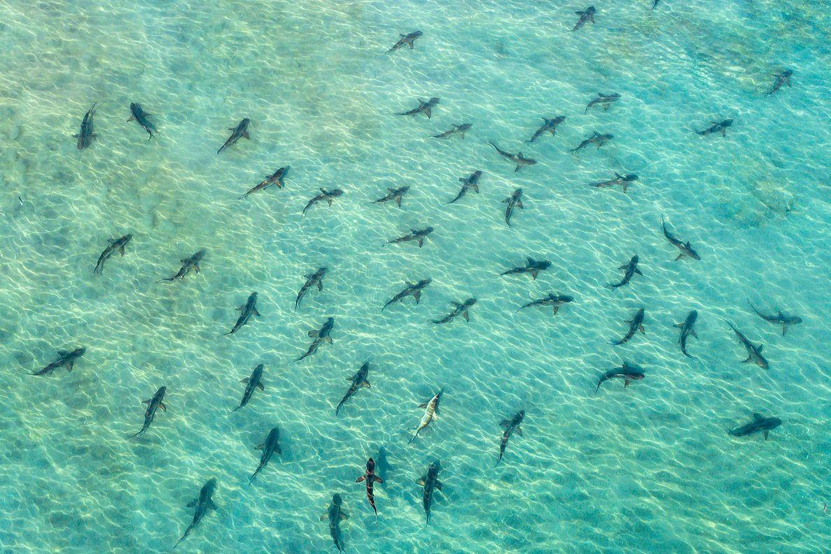 Tubarões-de-pontas-negras. Juno Beach, Flórida, Estados Unidos