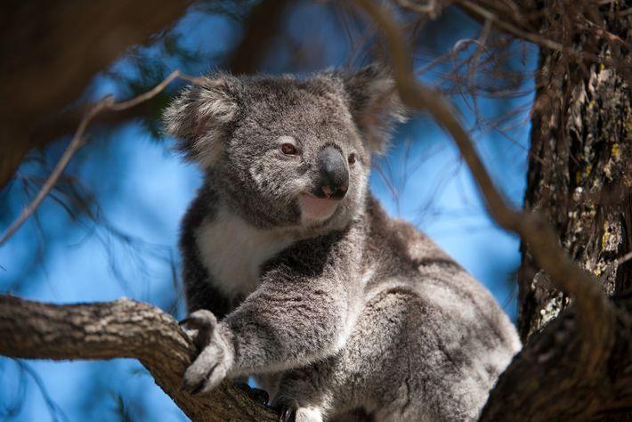 Os coalas, nativos da Austrália, são marsupiais e estão bem adaptados, de forma singular, ao seu ...