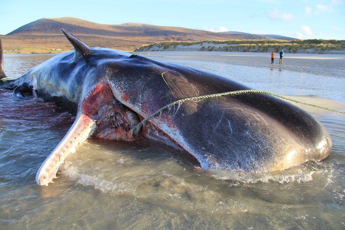 Em novembro de 2019, um jovem cachalote foi encontrado morto numa praia na Ilha de Harris, ...