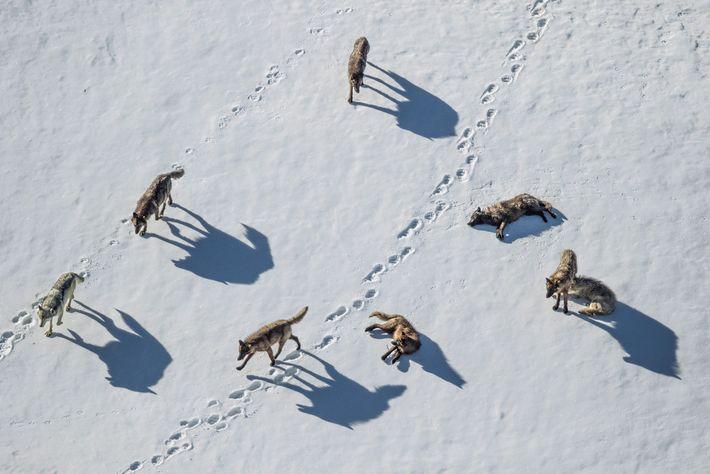 Uma matilha de lobos investiga as pegadas de um urso-pardo no Pelican Valley de Yellowstone.