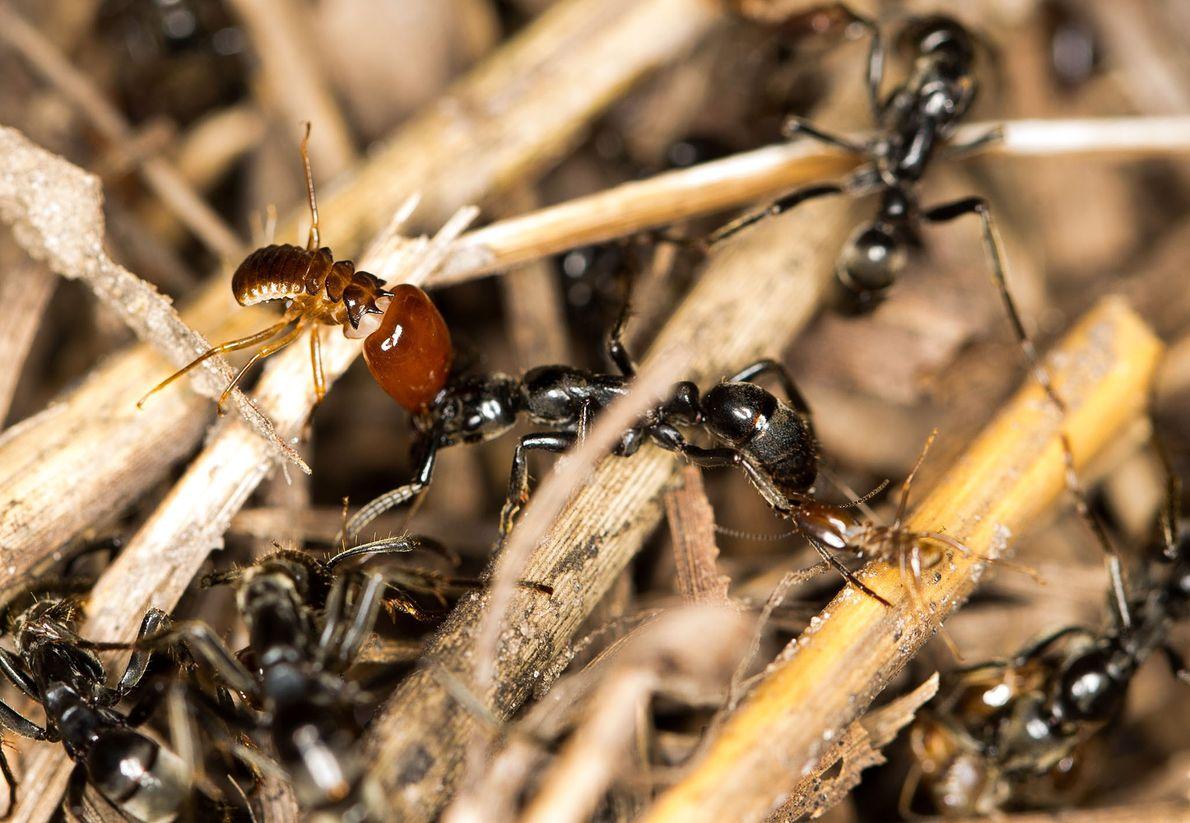 A formiga no centro com térmitas-soldados