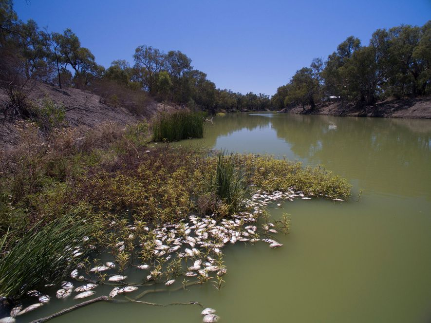 Esta matança massiva de peixes no rio Darling, em Nova Gales do Sul, deveu-se à seca ...