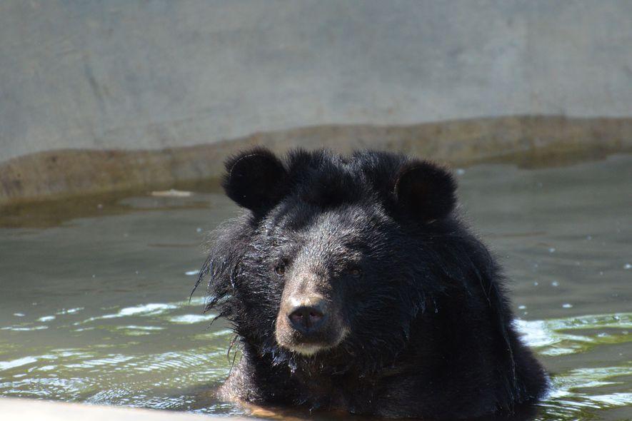 Um urso-negro-asiático mergulha num tanque.