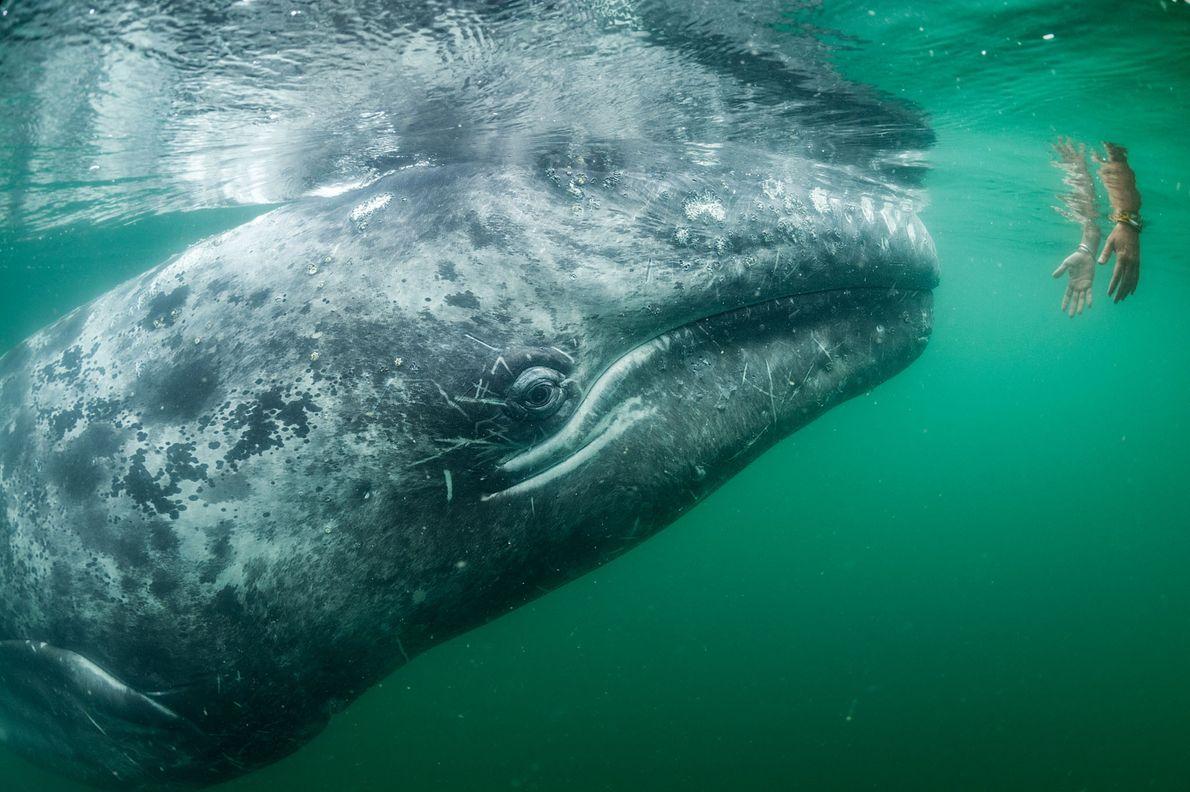 Baleias-cinzentas