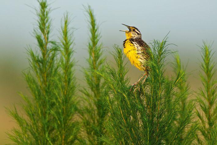 Um Sturnella empoleirado em erva-doce, na Florida. As aves das pradarias foram particularmente afetadas pela exposição ...