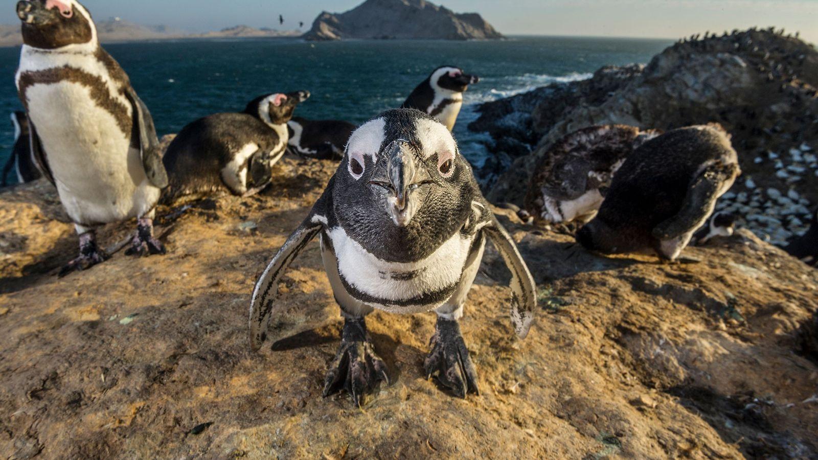 Pinguins-africanos