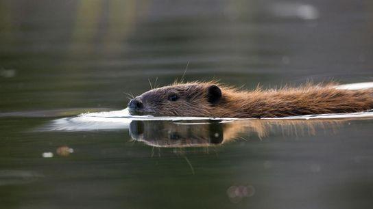 Este castor contribui para mitigar os efeitos das alterações climáticas.