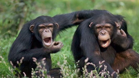 Dizer Palavrões Faz Bem - e os Chimpanzés Também o Fazem