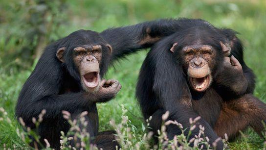 Chimpanzés e linguagem gestual