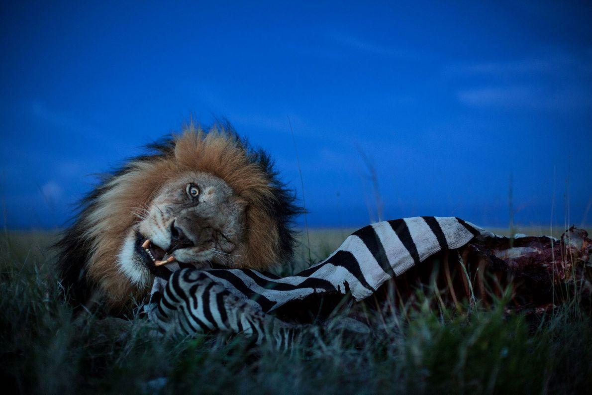 C-Boy devora uma zebra no Parque Nacional do Serengueti.