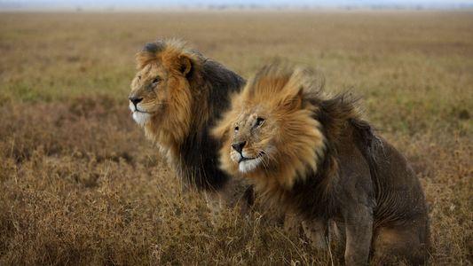 Recordar o Leão Africano Que Desafiou a Morte