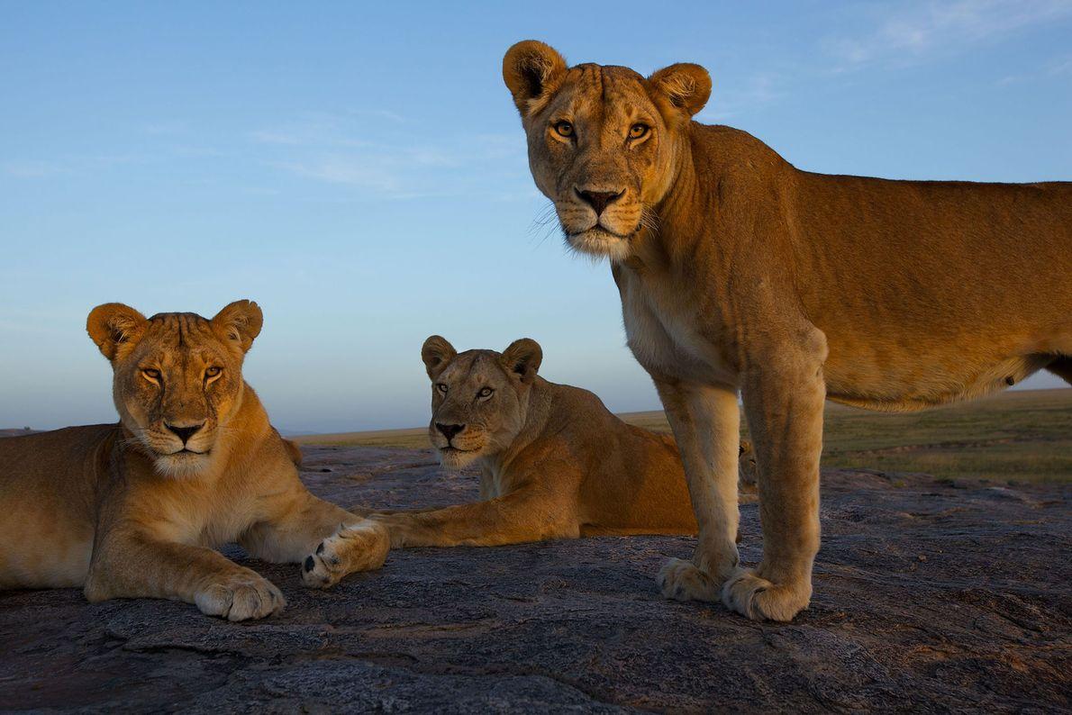 Leoas no Parque Nacional Serengeti, na Tanzânia.